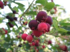 photo of Amelanchier berries