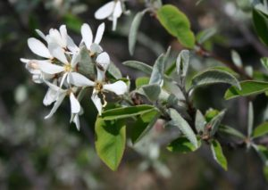 photo of blooming Amelanchier