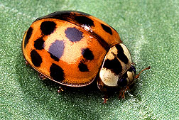 photo of Asian ladybeetle