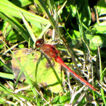 Cherry-faced_Meadowhawk