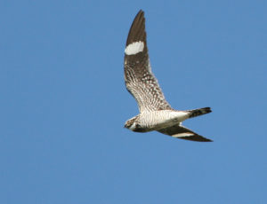photo of common nighthawk in flight