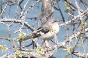 Northern Mockingbird  -  Mtwc 2014
