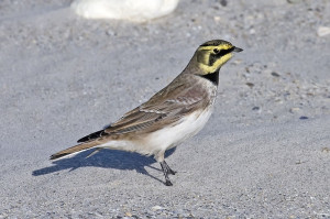 Horned larks have black masks and tiny ear tufts.