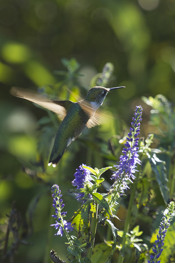 photo of a hummingbird in flight in the butterfly garden
