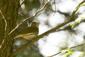 photo of male ovenbird singing