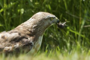 photo of a Red-tailed hawk eating a mouse in the grass