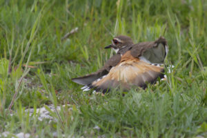 photo of a killdeer in distraction display