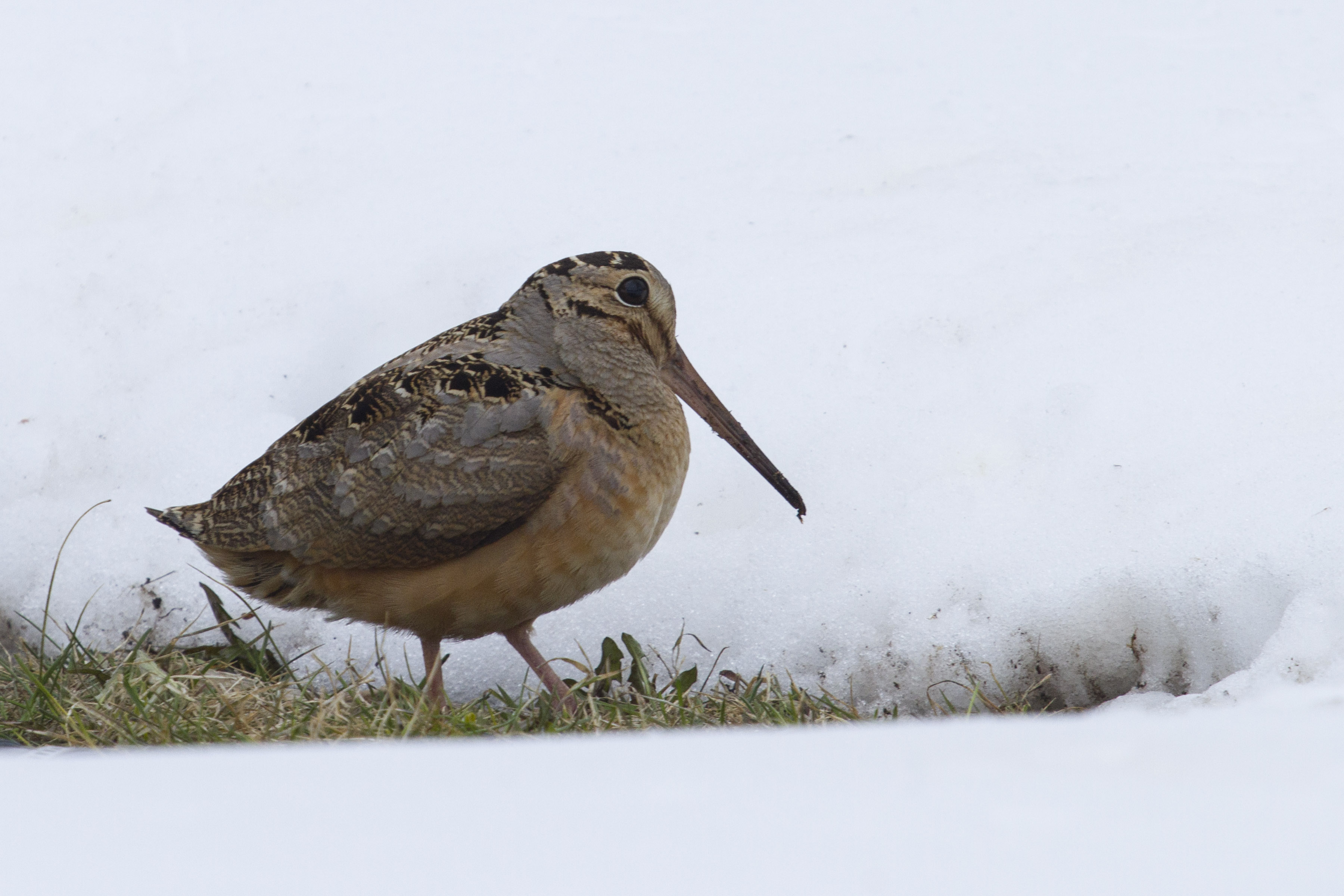 photo of woodcock in the snow