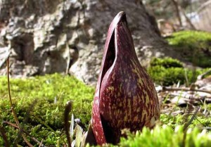 Skunk Cabbage flower taken by Sue Sweeny