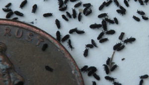 photos of springtails next to penny for scale comparison