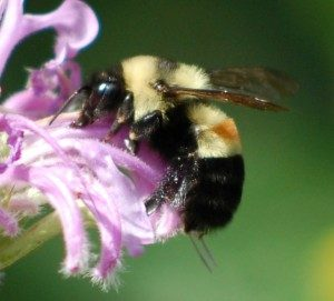 photo of rusty-patched bumblebee on flower