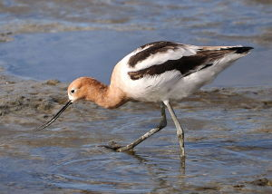 American Avocet-a beautiful shorebird sometimes found along the shore in Manitowoc County