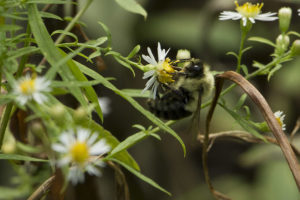 photo of bee on a native aster