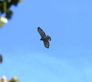 photo of a Broad-winged hawk