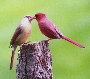 cardinals sharing food