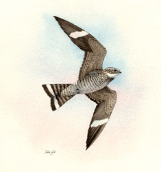 commonnighthawk