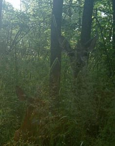 photo of doe & fawn taken by trail cam