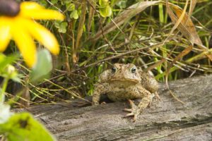 photo of an American toad by a flower