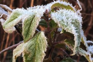 Frost jeweled leaves