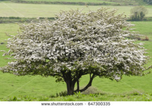 photo of a hawthorn in bloom