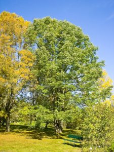 photo of healthy white ash tree