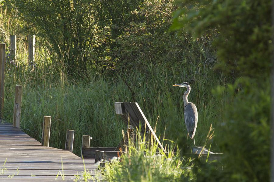 great blue heron near boardwalk