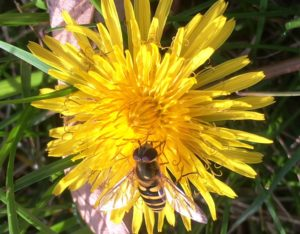 photo of a hoverfly on a dandelion