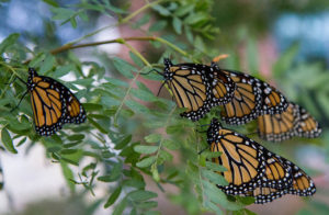 photo of many monarchs on plants