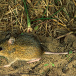 meadow_jumping_mouse
