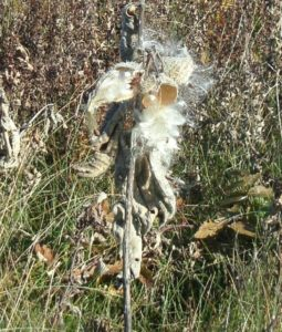 photo of milkweed seeds popping