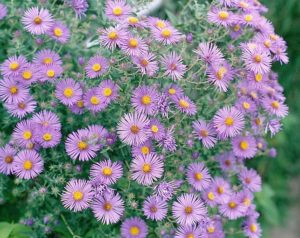 photo of blooming aster