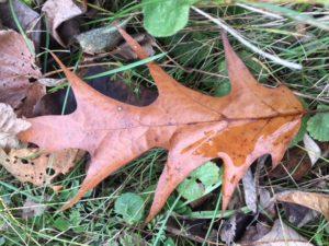 photo of fallen oak leaf