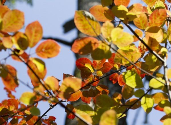 orange tree leaves