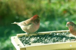 photo of male Purple Finch and House finch