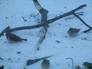 Male and female purple finch eating seeds among American goldfinches.