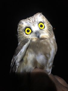 photo of saw-whet owl banded at Woodland Dunes Nature Center