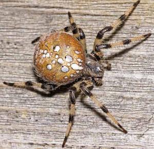 shamrock_spider