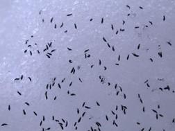 photo of snowfleas in the snow