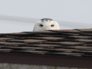 photo of snowy owl peeking over pavilion roof