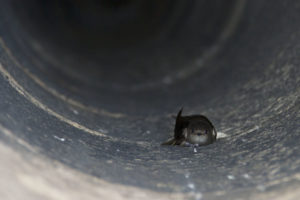 photo of chimney swift clinging to inner chimney wall