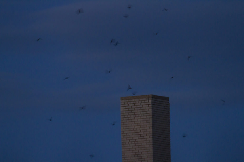 photo of chimney swifts swarming before entering the chimney for the night
