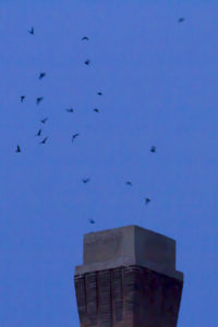 photo of Chimney swifts entering chimney to roost at night