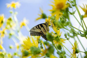 photo of a tiger swallowtail butterfly on a cup plant