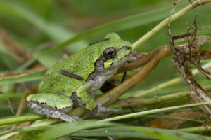 photo of an eastern tree frog
