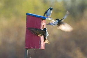 Photo of Tree swallows fighting near nesting box