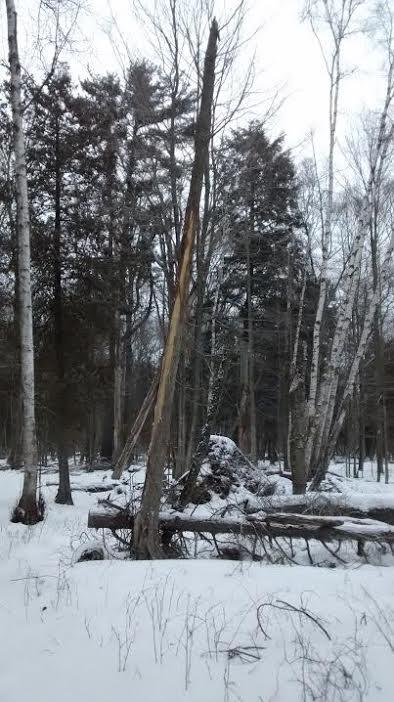 cedar tree with stripped bark