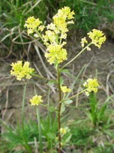photo of wintercress, an invasive mustard species