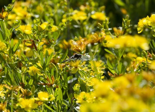 yellow blooming prairie