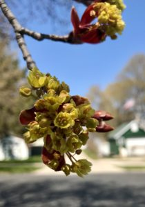 photo of maple tree leaf blossom