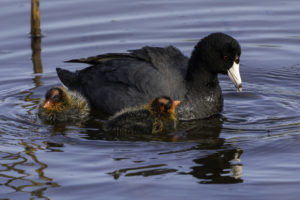photo of American coot